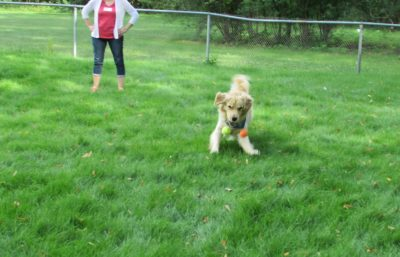 Triton the comfort dog as a young puppy playing in the grass